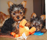 Very Heathy Teacup Yorkie Puppies For Free Adoption